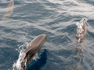 Tre delfiner